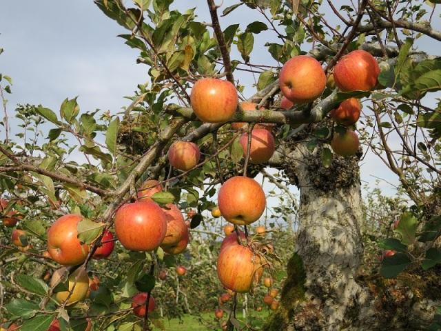 23日リンゴ園②